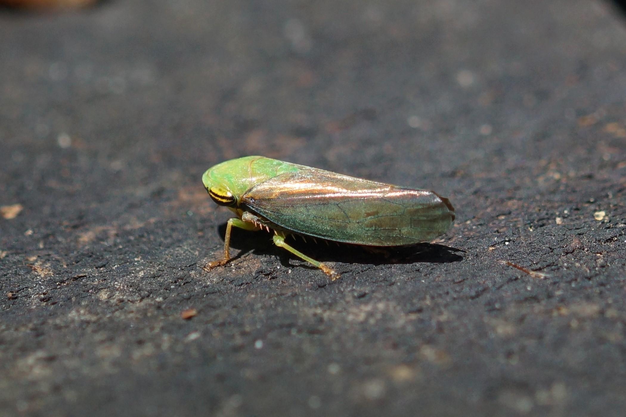 Cicadellidae sp. (Zwergzikade)