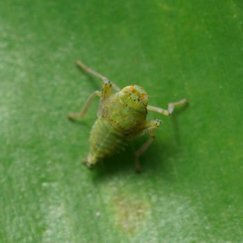 Cicadellidae sp. (Zwergzikade) - Thailand