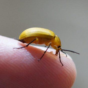 Alleculinae (Pflanzenkäfer)