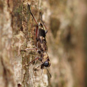 Omadius seticornis (Buntkäfer)