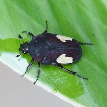 Cetoniinae (Rosenkäfer)