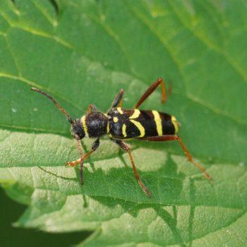 Clytus arietis (Echter Widderbock)
