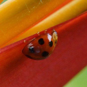 Coelophora inaequalis (Variable Ladybird) - Thailand