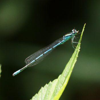 Coenagrion puella (Hufeisen-Azurjungfer)