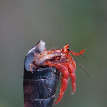 Coenobita sp. (Landeinsiedlerkrebs) - Thailand