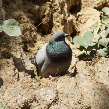 Columbiformes (Taubenvögel)