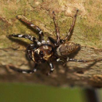 Colyttus sp. (Springspinne)