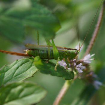 Conocephalus fuscus (Langflüglige Schwertschrecke)