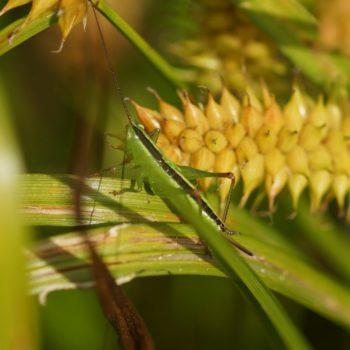 Conocephalus sp. (Schwertschrecke)