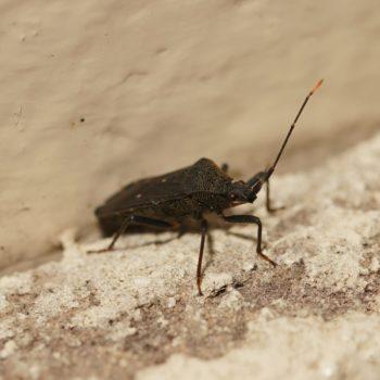 Coreidae sp. (Randwanze)