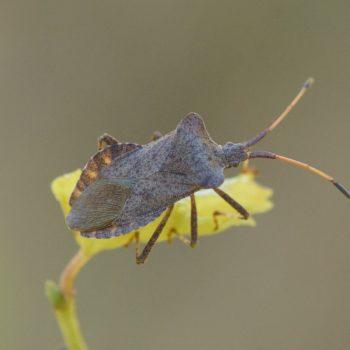 Coreus marginatus (Lederwanze)