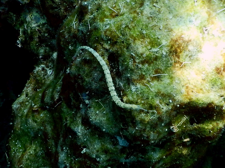 <i>Corythoichthys haematopterus</i> (Liegende Seenadel)