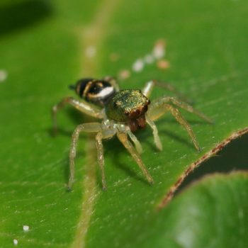 Cosmophasis umbratica (Springspinne) - Thailand