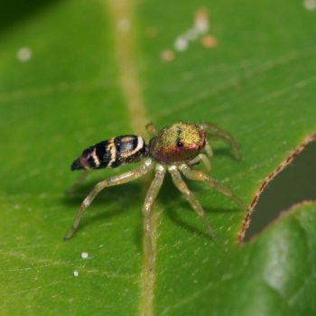 Cosmophasis umbratica (Springspinne)