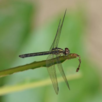Cratilla lineata (Emerald-banded Skimmer) - Thailand