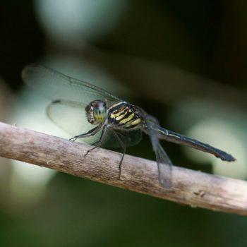 Cratilla lineata (Emerald-banded Skimmer)