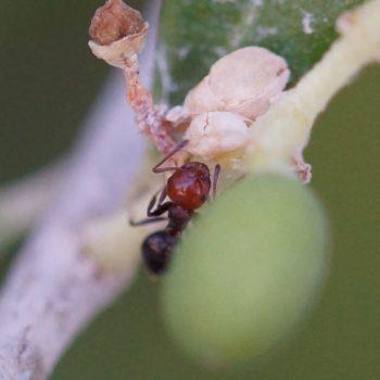 Crematogaster scutellaris (Knotenameise)