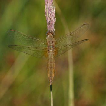 Crocothemis erythraea (Feuerlibelle)