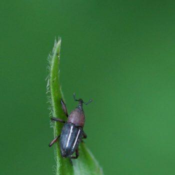 Curculionidae sp. (Rüsselkäfer)