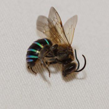 Curvinomia sp. (Furchenbiene) - Thailand