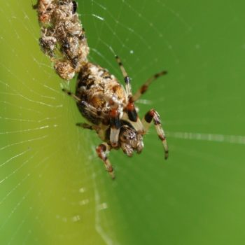 Cyclosa sp. (Radnetzspinne) - Thailand