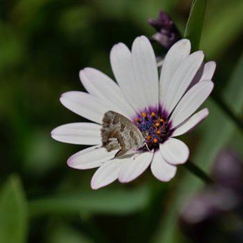 Cacyreus marshalli (Pelargonien-Bläuling)