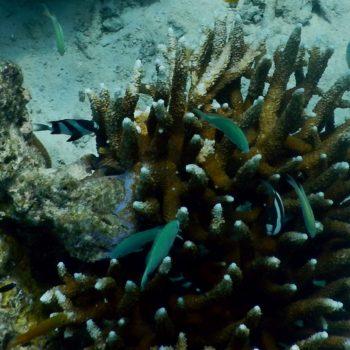 Dascyllus aruanus (Dreibinden-Preußenfisch)