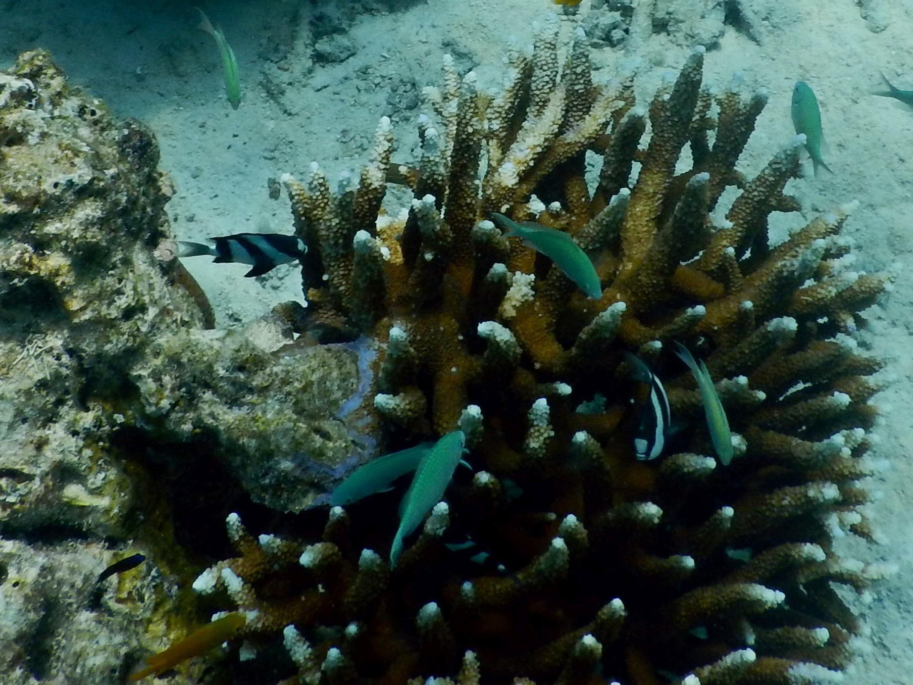 <i>Dascyllus aruanus</i> (Dreibinden-Preußenfisch)