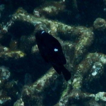 Dascyllus trimaculatus (Dreifleck-Preußenfisch) - Thailand