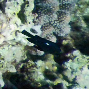Dascyllus trimaculatus (Dreifleck-Preußenfisch)