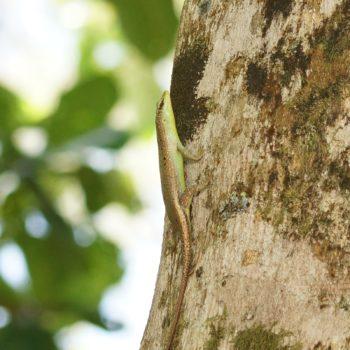 Dasia olivacea (Olive Tree Skink)