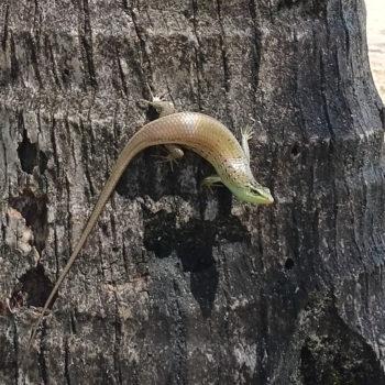 Dasia olivacea (Olivfarbener Baumskink) - Thailand