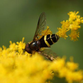 Dasysyrphus tricinctus (Breitband-Waldschwebfliege)