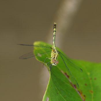 Diplacodes trivialis (Ground Skimmer) - Thailand