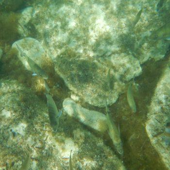 Diplodus vulgaris (Zweibindenbrasse) & Diplodus sargus (Geißbrasse)