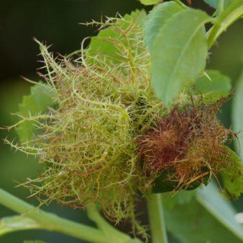 Diplolepis rosae (Gemeine Rosengallwespe)