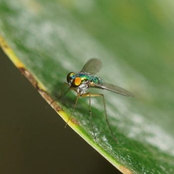 Dolichopodidae sp. (Langbeinfliege) - Thailand