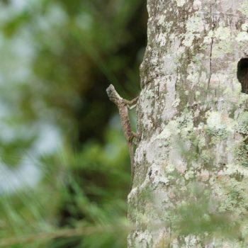 Draco sumatranus (Sumatran Gliding Lizard)