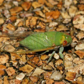 Dundubia sp. (Singzikade) - Thailand