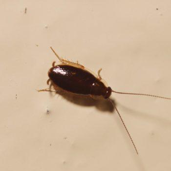 Ectobiinae sp. (Waldschabe)