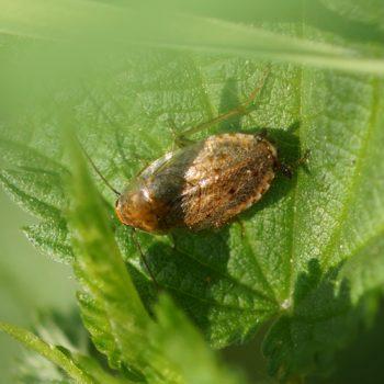 Ectobius pallidus (Waldschabe)