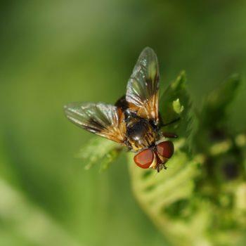 Ectophasia crassipennis (Breitflügelige Raupenfliege)