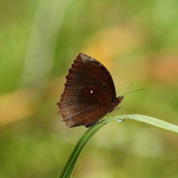 Elymnias hypermnestra (Common Palmfly)