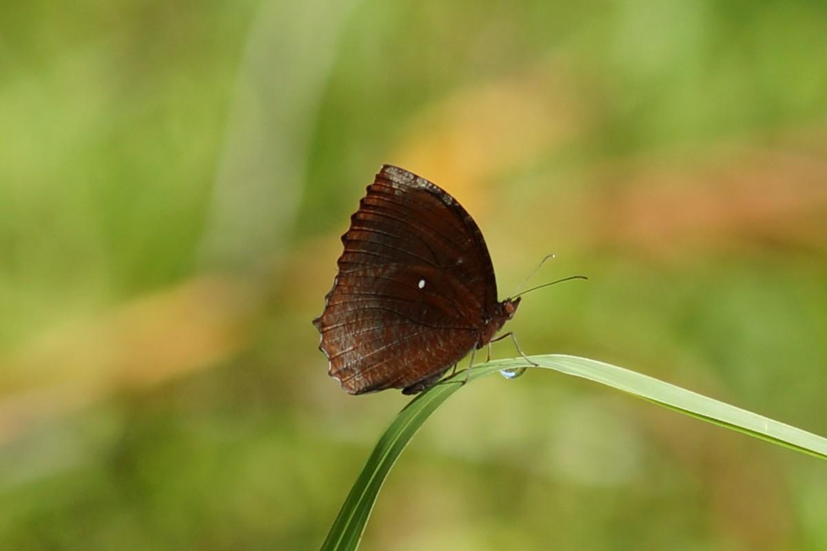<i>Elymnias hypermnestra</i> (Common Palmfly)