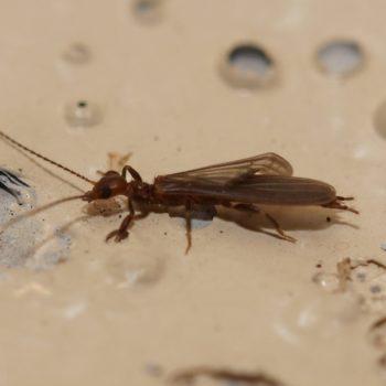 Embioptera sp. (Tarsenspinner)