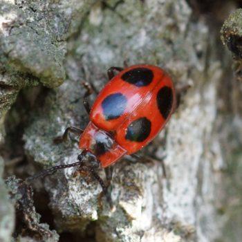 Endomychus coccineus (Scharlachroter Stäublingskäfer)