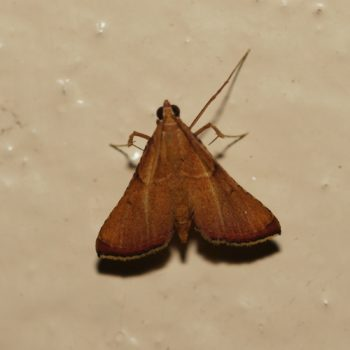 Endotricha sp. (Zünsler) - Thailand