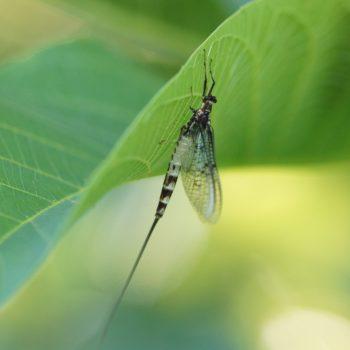 Ephemeroptera (Eintagsfliegen)