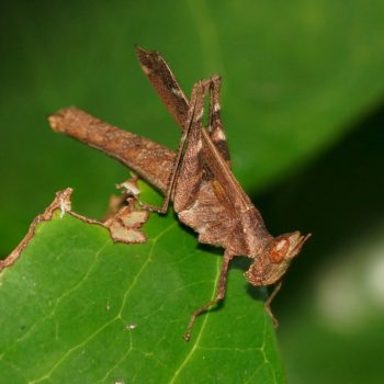 Erianthus sp. (Monkey Grashopper) - Thailand