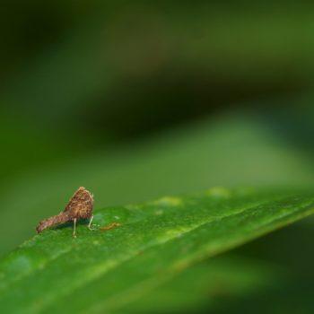 Erianthus sp. (Conjoined Spot Monkey Grashopper)